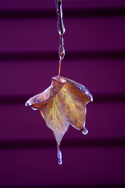 Leaves   Hangin' At The Creek, Ice Storm In Boerne, Texas